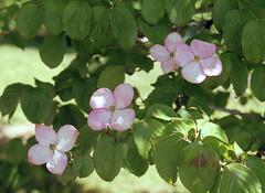 Pink Dogwood (jvde) Tags: 3570mmf3345nikkor burnaby coolscan film fujicolor gimp nikonfe