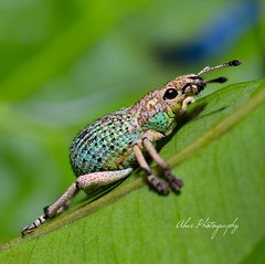 2017-11-22_05-48-01 (asepkartendi) Tags: macro insect insectphotography green nikonphotography