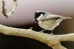 Mésange noire (sfrancois73) Tags: oiseau jardin faune mésangenoire