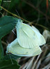 Cabbage butterfly in love (Darea62) Tags: butterfly insect love largewhite sex pierisbrassicae animal wildlife cabbage nature