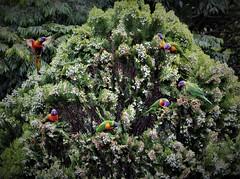 Order please! (Pamela Jay) Tags: rainbowlorikeet lorikeet brightlycolored australian parrot bird rainforest woodlands heath mangrove parks orchards wild flocks nature garden colourful australia nsw pamelajay