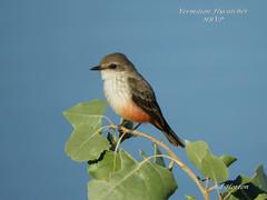 Vermilion Flycatcher (Edhorton) Tags: henderson bird viewing preserve las vegas nevada wildlife hawk duck ibis yellowlegs flycatcher vermilion