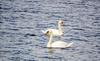 DSC04433 (R.Z.fotografie) Tags: nunspeet nederland netherlands water zwanen animals natuur nature