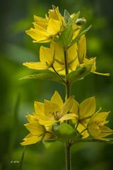 gelbe Blüten (hph46) Tags: blüte lumixg70 panasonic flower yellow gelb mft