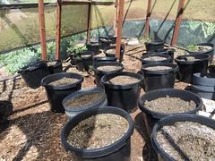 IMG_5039 (CannaPsy) Tags: medicalcannabis medicalmarijuana cannabis organic sungrown truelivingorganics notill weed ganja herb dank caliweed cleanmeds ecofriendly legalization warondrugs prohibition