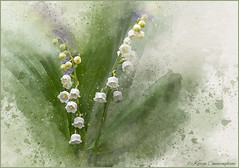 Lily of the Valley (hey its k) Tags: backyard flowers lilyofthevalley nature hamilton ontario canada ca img5132ee watercolour paint splash canon6d