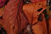 20171126_DP3M3441 (NAMARA EXPRESS) Tags: closeup leaf leaves deadleaf fallenleaves deadleaves tripod daytime autumn cloudy outdoor color toyonaka osaka japan foveon x3 sigma dp3 merrill namaraexp