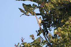 Female flowerpecker (Sgjyk) Tags: flowerpecker australian camp pokhara nepal