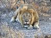 King of the Cats (wmckenziephotography) Tags: lion namibia wildlife wildlifephotograpy etosha etoshanationalpark onguma lions