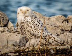 Top O' The Morning to You . . . (Dr. Farnsworth) Tags: owl snowy snowyowl bird large feeding blood stain muskegon mi michigan fall november2017