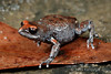 Red-crowned Broodfrog (Pseudophryne australis) (Jules Farquhar.) Tags: julesfarquhar redcrownedbroodfrog pseudophryneaustralis myobatrachidae frog fauna wildlife amphibia herpetofauna sydney nsw sandstone sydneybasin bluemountains