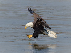 Here Fishy..... (tresed47) Tags: 2017 201711nov 20171120conowingoeagles birds canon7d conowingo content eagle fall flightshot folder general maryland november peterscamera petersphotos places season takenby us