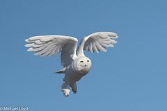Snowy Owl (mobull_98) Tags: snowyowl owl bif flying