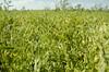 Crops_NR_24 (NRCS Montana) Tags: soil soils soilhealth farm farming farmland alternativecrops notill drylandfarming beach northdakota conservationtillage lentils covercrops