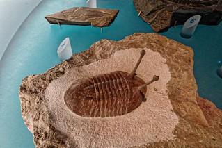Trilobite with Eye Stalks