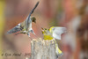 xxD40_5512 (Eyas Awad) Tags: eyasawad nikond4 sigma500f45 nikond800 nikonafs300mmf4 bird birds birdwatching wildlife nature fringuello fringillacoelebs verdone chlorischloris