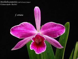 Brasilaelia purpurata (Lindl. & Paxton) Campacci - f. striata