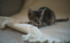 The Blue Girl 3 (peter_hasselbom) Tags: cat cats kitten kittens abyssinian blue 8weeksold naturallight 50mm f14