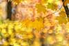 Autumn Gold (lfeng1014) Tags: autumngold autumncolours autumn autumnleaves autumnmaple light fallcolours fallenleaves mapleleaves maple mapletrees macro macrophotography closeup bokeh canon5dmarkiii 70200mmf28lisii dof depthoffield lifeng