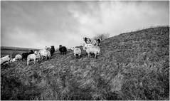Harwood . (wayman2011) Tags: lightroomfujifilmxpro1fujifilmxf18mmf2 wayman2011 bwlandscapes mono rural sheep pennines dales teesdale harwood countydurham uk