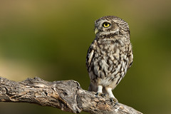 Little Owl (Simon Stobart) Tags: little owl athene noctua sat branch tree coth5 ngc npc