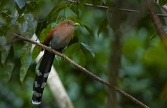 Squirrel Cuckoo (Peter Stahl Photography) Tags: cuckoo squirelcuckoo mexico grandpalladium bird jungle forest