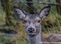 Hello Flickr Folks (davidrhall1234) Tags: reddeercervuselaphus reddeer hind portrait eyes animal scotland highlands countryside wilderness nature nikon outdoor outdoors environment wildlife world woodland
