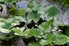 plants nuphar Patsy Pond Trl Croatan NF ncwetlands AM (22) (ncwetlands.org) Tags: croatan sinkhole pond coastalfederation northcarolina ncwetland ncwetlands northcarolinawetland northcarolinawetlands