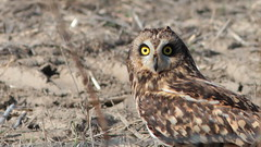Coruja do nabal - Asio flammeus - Short Eared Owl (Jose Sousa) Tags: corujadonabal asioflammeus shortearedowl pontadaerva portoalto avesjsousa ave aves avian bird oiseaux birds feathers penas avifauna birdwatching birdwatcher birding avesemportugal avesdeportugal birdsinportugal birdsfromportugal animal animals animais animales animaux nature natureza naturaleza natura vidaselvagem wild wildlife selvagem fauna animalia portugal