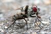 Flower fly (arian.suresh) Tags: 750d2017img3772l ariansuresh raynoxdcr150 saravanastreettnagar chennai tamilnadu india raynox nature macro 6mm flower fly flowerfly animalia arthropoda hexapoda insecta pterygota neoptera panorpida diptera brachycera muscomorpha schizophora calyptratae muscoidea anthomyiidae anthomyiinae anthomyiini anthomyia anthomyiaillocata