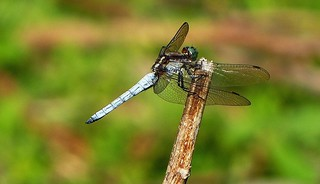 Dragonfly - Western Himalayas  ~1800m Altitude.