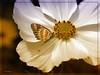 Das Schmuckkörbchen (Heinze Detlef) Tags: blüte schmetterling pflanze blume insekt tier