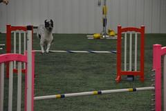 DSC_6662 (jaimekay16) Tags: dog agility k9x k9 xpress leander texas
