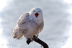 _M4_0897.jpg (rdelonga) Tags: nycteascandiaca snowyowl