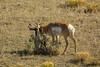 The marker (ChicagoBob46) Tags: pronghornantelope antelope buck rut yellowstone yellowstonenationalpark nature wildlife ngc coth5 npc