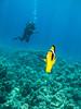 Red Sea Racoon Butterflyfish IMG_8932 (David Whistlecraft) Tags: canong12 seasea seaseays27dx underwaterphotography redsea underwater underwaterimages scubadiving scuba marinelife marinefish redsearacoonbutterflyfish butterflyfish