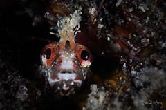B L E N N Y (Randi Ang) Tags: osezaki shizuoka numazu japan blenny chaenopsid chaenopsidblenny underwater macro scuba diving dive photography randi ang canon eos 6d 100mm randiang