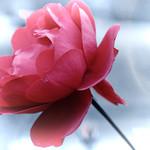 Red Rose 🌹 thumbnail