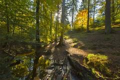 _T1A3586 Elvenland (idunavision) Tags: ostwestfalenlippe detmolddonoperteich forest pond beechtrees buchen canon leica olympus autumn fall herbst golden teich mushrooms fern