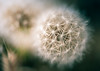 Fall wishes (Bai R.) Tags: nikkor105mmf28gvrmicro dandelion fall autumn dreamy f28 1050mmf28