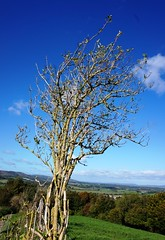 Bare hawthorn on Amberley Mount (Leimenide) Tags: hawthorn autumn south downs way tree hill path nature bush plant