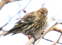pine siskin at Lake Meyer Park IA 854A6409 (lreis_naturalist) Tags: pine siskin lake meyer park winneshiek county iowa larry reis
