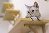 DSC02847 (Wang Foto - 0969 92 97 91) Tags: cat cute pet photography animal cuties kitten kitty lovely tiny mycat babycat sonya7r carlzeiss scottishfold britishshorthair scottishcat catphoto cutecats wangfotovn
