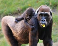 Melima & Baby Tara (babsbaron) Tags: nature tiere animals affen apes menschenaffe primaten monkeys gorilla flachlandgorilla baby zoo hannover erlebniszoo