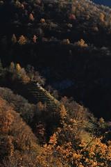 Late Autumn in Ticino (47/52 - 2017) (K M V) Tags: larch lerche larix lehtikuusi metsä skog forest forêt wald autumn autunno herbst syksy höst trees arbole arbres bäume puita träd alberi ticino tessin