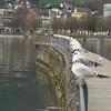 Gulls on Lake Constance