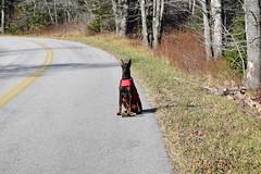 DSC_0074 (justinluv) Tags: achilles doberman dog dobe dobie dobermanpinscher eurodoberman canine