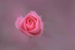pink jewel (christophe.laigle) Tags: rose macro fleur flower pinky jewel nature christophelaigle fuji xpro2 xf60mm drew drops gouttes droplets pluie rain macrodreams ngc npc
