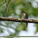 Dark-sided Flycatcher (Muscicapa sibirica)