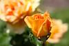 Maig_1466 (Joanbrebo) Tags: barcelona catalunya españa es park parque parc parccervantes garden jardí jardín flors flores flowers fleur fiori blumen blossom rosa rose canoneos70d eosd efs1855mmf3556isstm autofocus greatphotographers